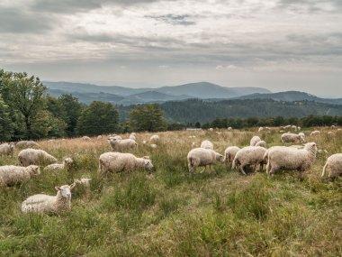 Owce na Hali Jaworowej z Czantorią Wielką w tle, fot. Radosław Szczepanek