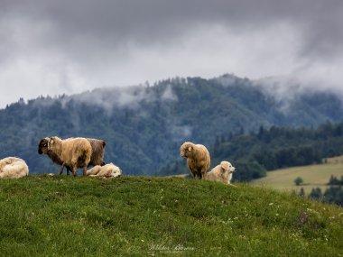 Wypas owiec w Małych Pieninach, fot. |Wiktor Baron Fotografia|https://baronphotography.eu/