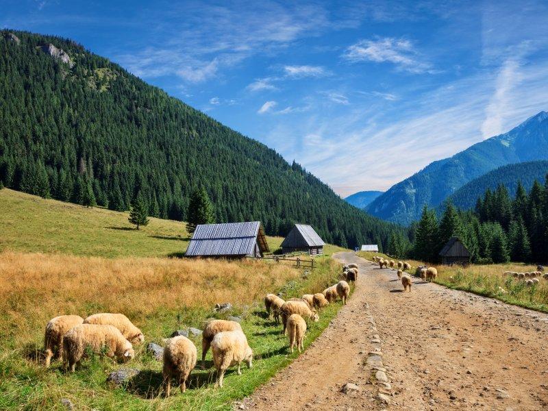 Kulturowy wypas owiec w Dolinie Chochołowskiej